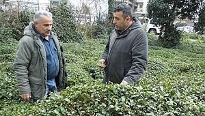 Gübredeki Zamlar Çay Üreticisini Endişelendiriyor