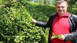 Rize Ziraat Odası Yaş Çay Taban Fiyatı Beklentisini Açıkladı