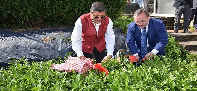 Hindistan Büyükelçisi Bhattacharyya, Rize'de Çay Hasadı Yaptı