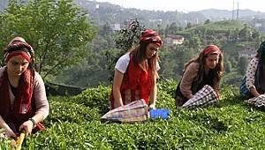 Yaş Çay Fiyatı Yarın Belli Oluyor. İşte Açıklanacak Fiyat!