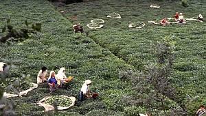 ÇAYKUR, Bayramın 2. Gününde 8 Bin 400 Ton Yaş Çay Aldı