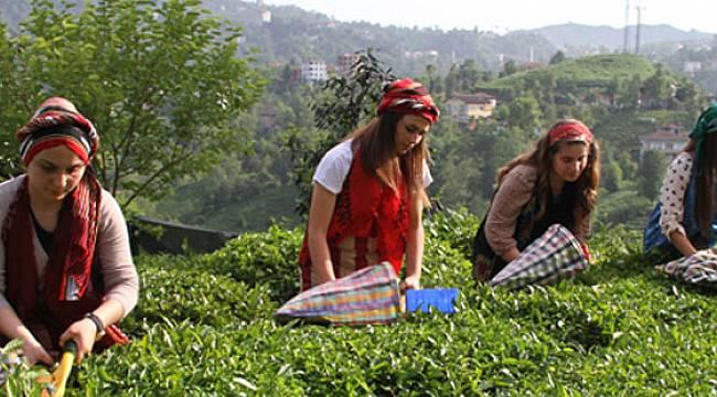 Yaş Çay Üretiminde Düşüş, Fındık Üretiminde Artış Bekleniyor