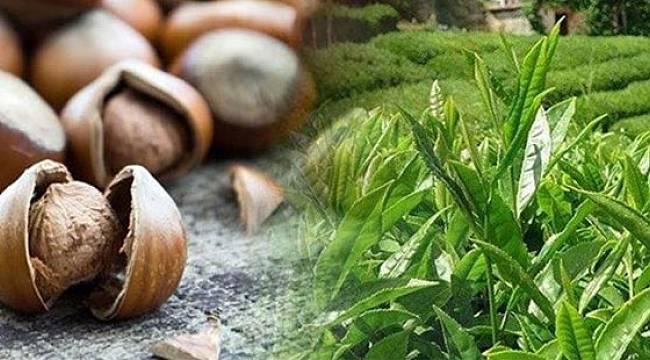 Tarım ve Orman Bakanlığı, Çay ve Fındık Değerlendirme Raporunu Yayımladı