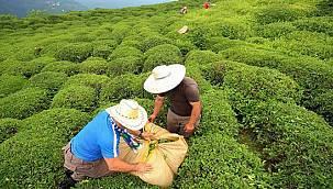 Yaş Çay Destekleme Bedeli Belli Oldu
