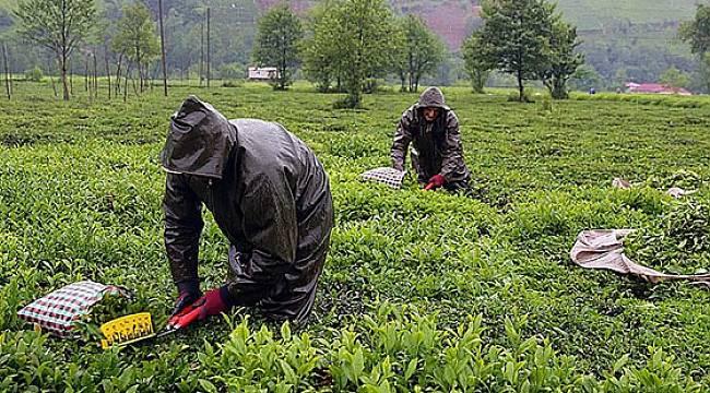 ÇAYKUR 252 Bin Ton Yaş Çay Aldı