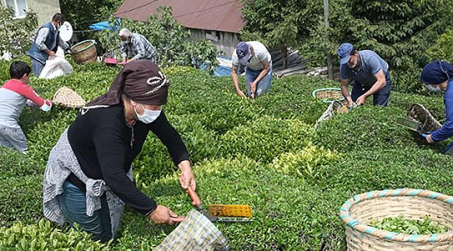 ÇAYKUR Bir Günde 10 Bin Tondan Fazla Çay Aldı